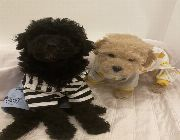 Black toy poodle, pure toy poodle, small puppies, most intelligent dogs, toy poodle Philippines, makati toy poodle, Toy poodle for sale, poodle for sale, -- Dogs -- Metro Manila, Philippines