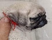 Female pug -- Dogs -- Las Pinas, Philippines