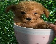 teacup toy poodle -- Dogs -- Metro Manila, Philippines